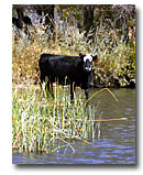 Cow drinking from the Pit River.