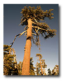 Looking up a ponderosa pine.