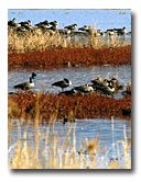 Geese resting on the islands of Modoc National Wildlife Refuge.