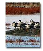 Geese rest on an island in the Modoc Wildlife Refuge.